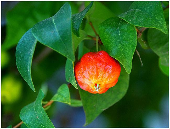 Ацерола: полезные свойства и особенности применения барбадосской вишни