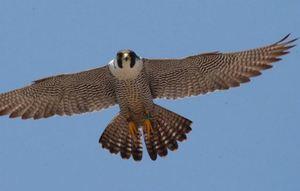 Какая самая быстрая птица в мире?