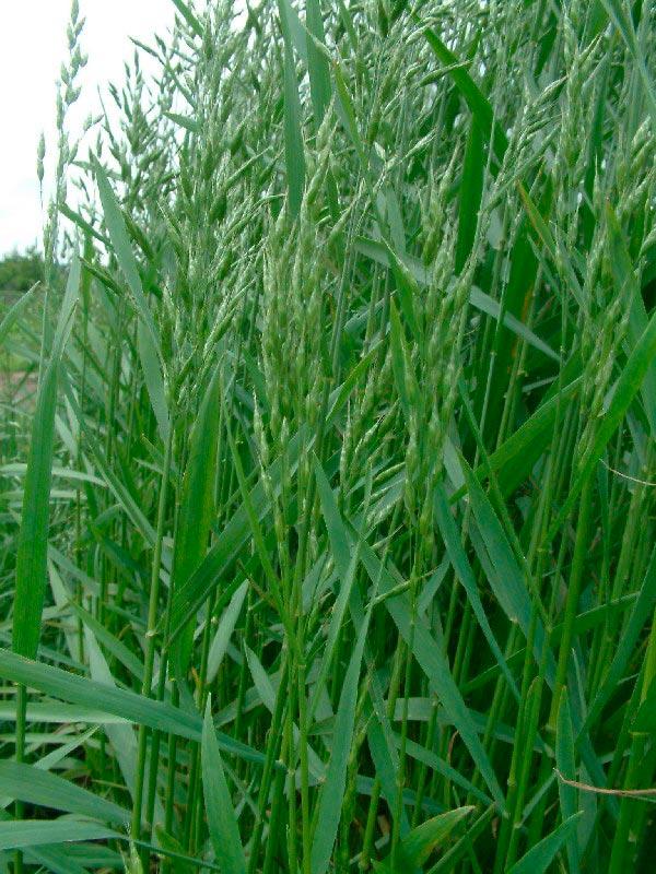 Безостый костер (трава): посадка и уход